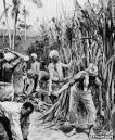 plantation 1